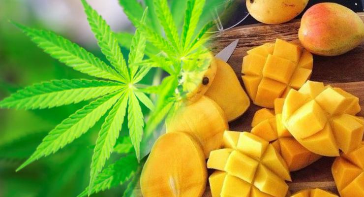 Cannabis Mango